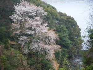 20090322-127曽根 釣場の桜