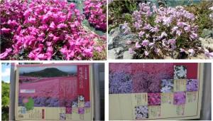 ◆芝桜の丘 看板と花アップ 茶臼山20150521