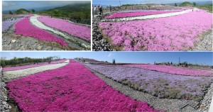 ◆芝桜の丘 花が多い撮影 茶臼山20150521