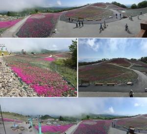 ◆芝桜の丘 花が少ない撮影 茶臼山20150521