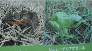 ◆棚田 アカガエル20150912千框せんがまち (3)