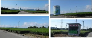 ■20150912金谷の茶畑 (7)