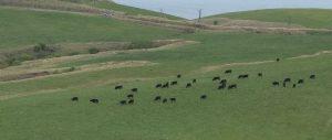 宗谷丘陵20160602 (4)黒牛