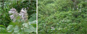 ★オオバギボウシ 展望湿原から下山中の景色20160723 (53)